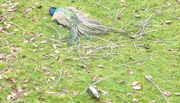 El pavo muerto, este martes por la mañana, en la Taconera