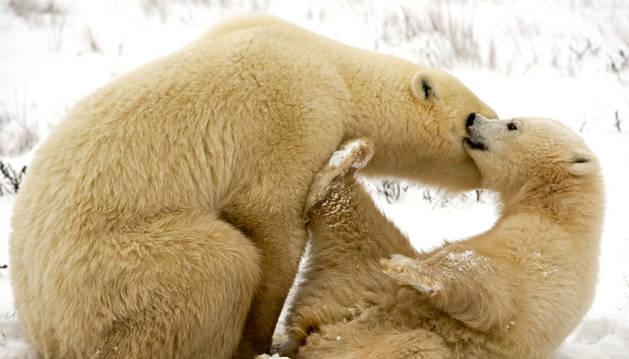 Un oso polar y su cría.