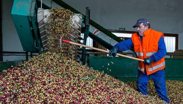 El trujal Mendía acaba con una cosecha de 8 millones de kg