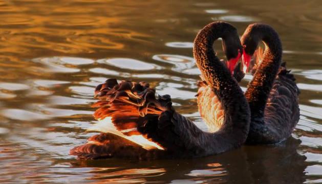 Dos cisnes negros se cortejan
