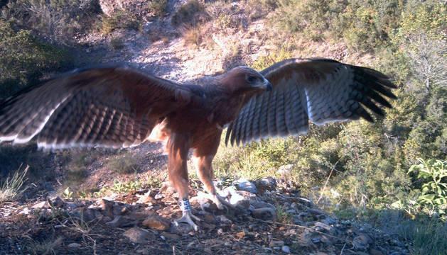 El águila perdicera, una rapaz ibérica que no remonta el vuelo