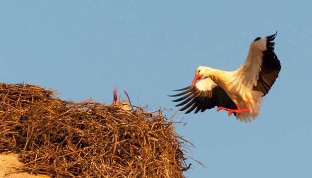 Una cigüeña llega a un nido.
