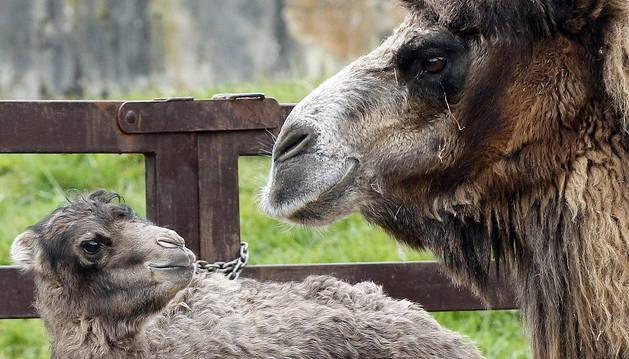 La cría de camello nacida en Cabárceno, junto a su madre.