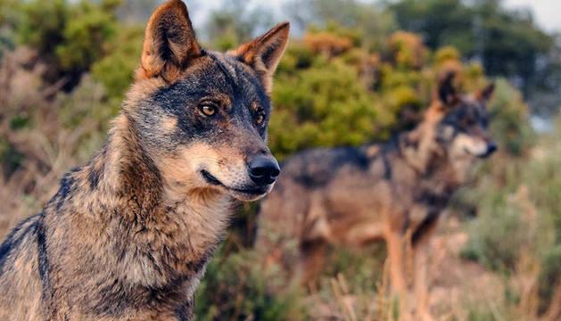 Fotografía facilitada por Ecologistas en Acción de lobos en libertad.