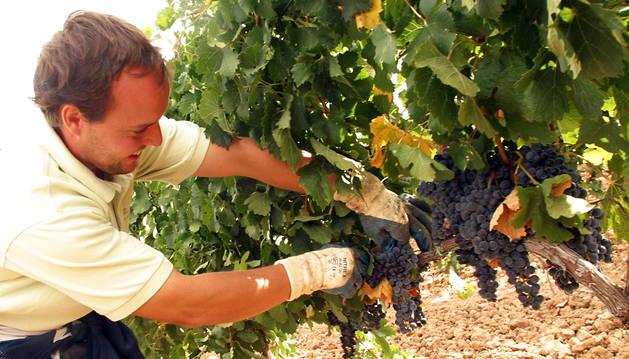 Una persona corta de forma manual un racimo de uva.