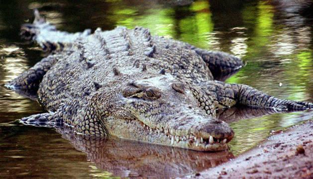 Cómo atrapar un cocodrilo con las manos y una red