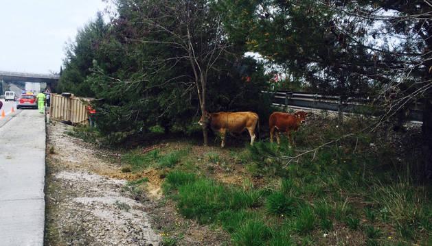 Imagen de algunas de las vacas sueltas.