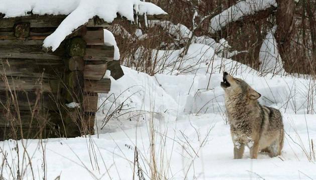 Un lobo, en la zona de exclusión de Chernóbil.