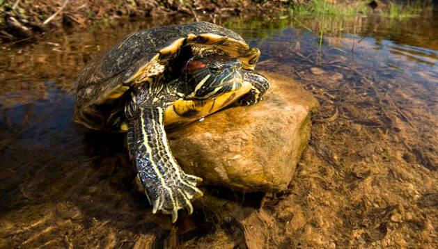 Una tortuga de Florida, mascota habitual.