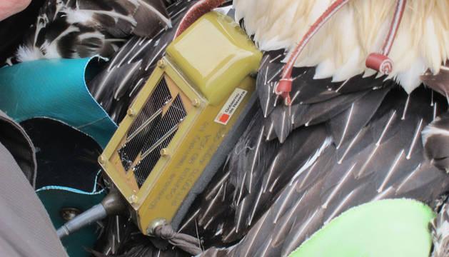 Capturado y radio equipado uno de los diez quebrantahuesos navarro