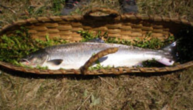 El primer salmón de la temporada de 2014.