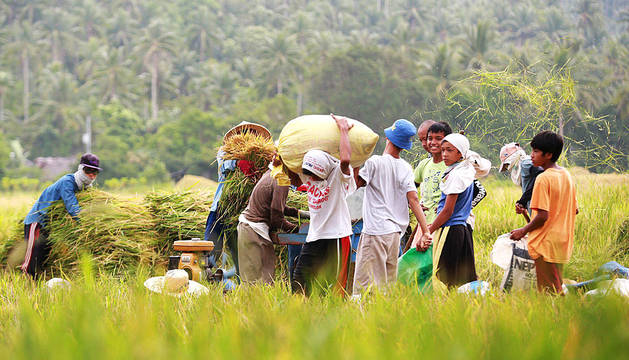 Agricultores filipinos recogen arroz en previsión de la llegada del tifón Noul.