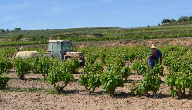 Un agricultor de Andosilla desparrando una  viña en el término de Umiro.