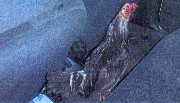 Uno de los gallos heridos.