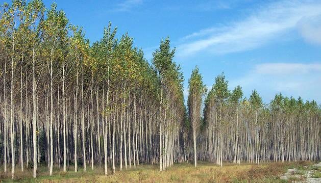 Foresna denuncia los retrasos para plantar chopos de la CHE