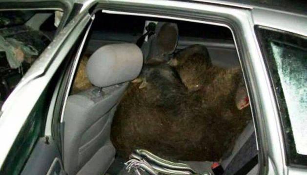 Un jabalí, dentro de un coche tras entrar por la ventanilla.