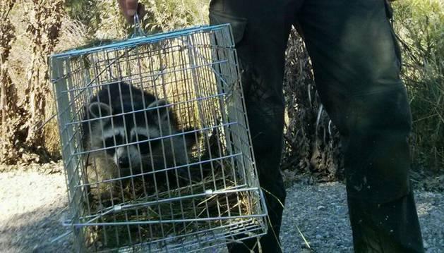 El mapache capturado, en una jaula.