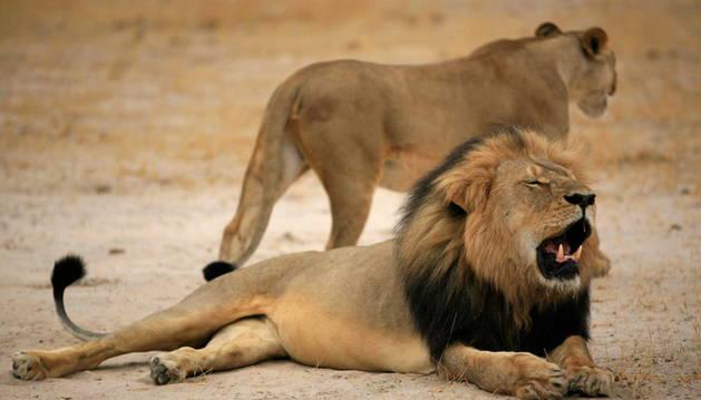 'Cecil' era el león más famoso de Zimbabue.