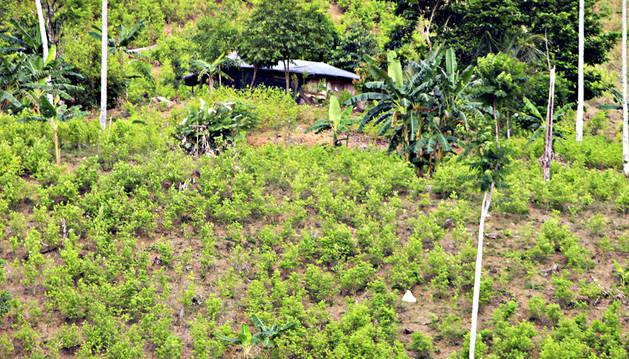 El cultivo del cacao, alternativo al de la cocaína en Colombia