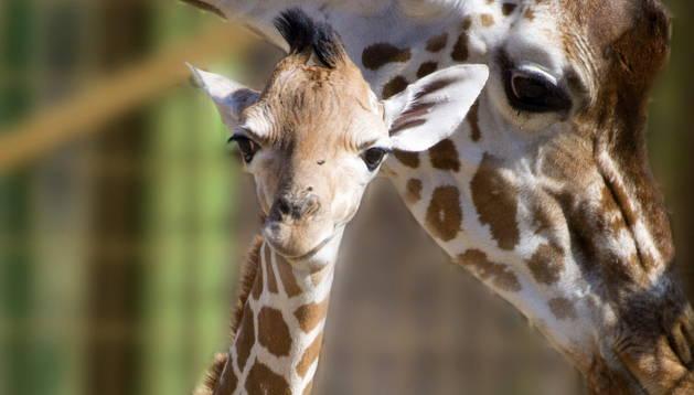 El ejemplar de jirafa nacido este fin de semana.