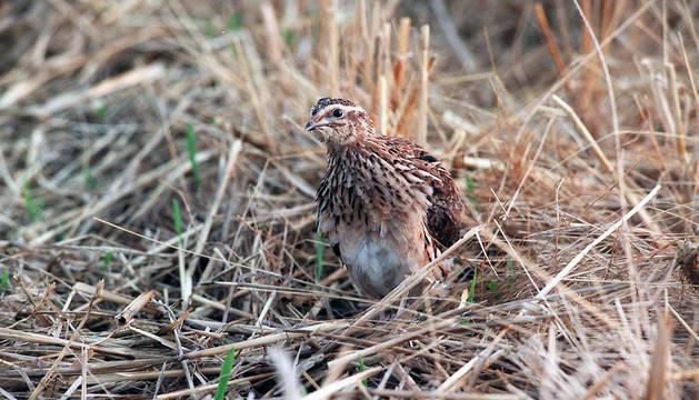 La codorniz es una de las especies que se puede caza en la