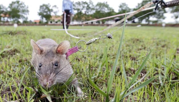 Una de las ratas que detectan minas.
