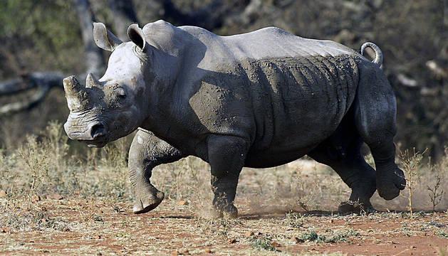 Un rinoceronte blanco macho, en Malelane (Sudáfrica).