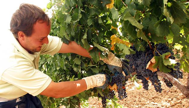 La vendimia rozará los 78 millones de kilos en la DO Navarra, un 3% más que en 2014