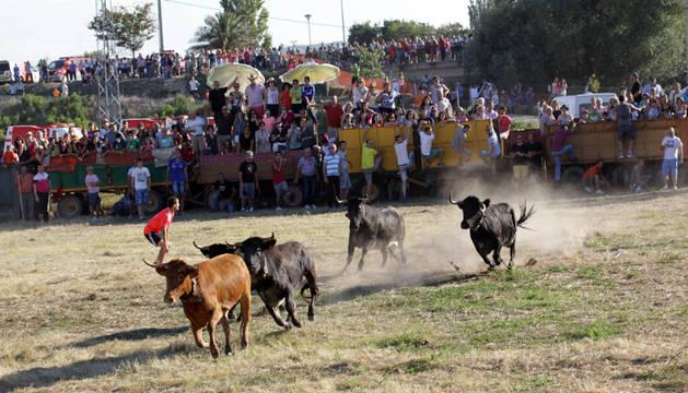 Imagen de la traída de vacas de Cintruénigo celebrada en 2014