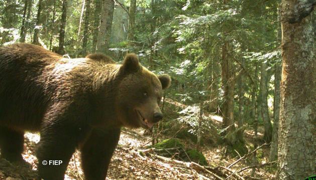 Foto automática tomada de día esta primavera en el Pirineo francés al oso 'Cannellito'.