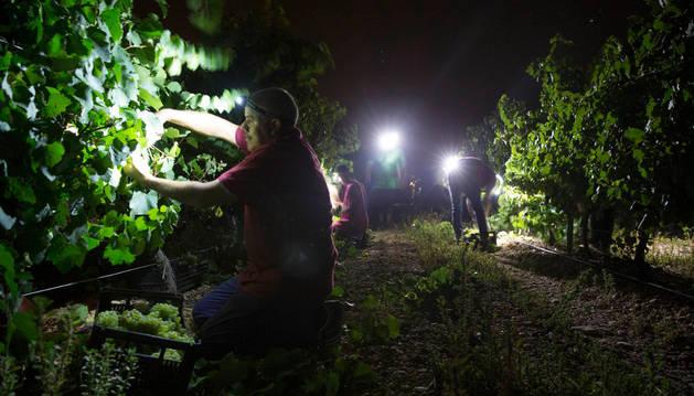 Varios recolectores recogen los frutos de las viñas en Cadreita.