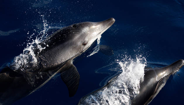 Delfines en Canarias.