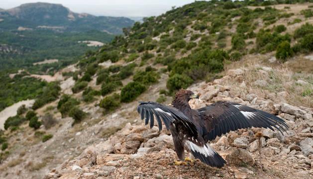 El águila despliega las alas tras ser liberada.
