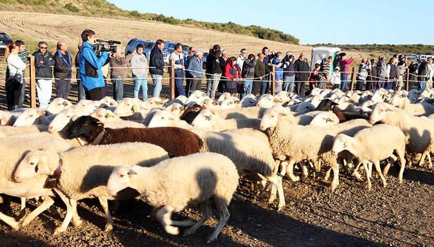La entrada de ovejas evidencia la división entre algunos ganaderos y la Comunidad de Bardenas
