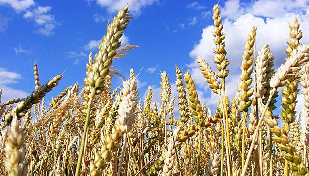 Espigas en un campo de cereal ya maduro.