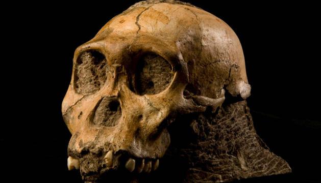 Cráneo de un Australopithecus africanus.
