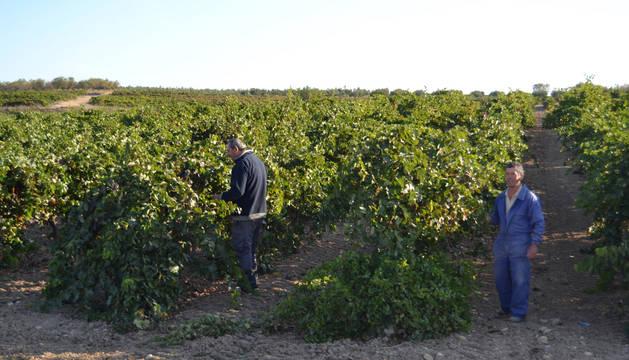 Dos agricultores en una viña del Camino  de Milagro de Andosilla.