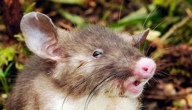 Hyorhinomys stuempkei.