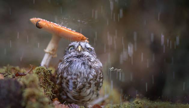 El entrañable búho, tratando de evitar la lluvia