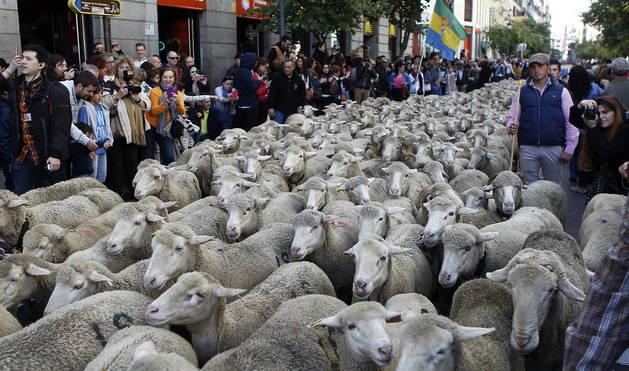 La ciudad de Madrid ha vuelto a convertirse este domingo en vía pecuaria.