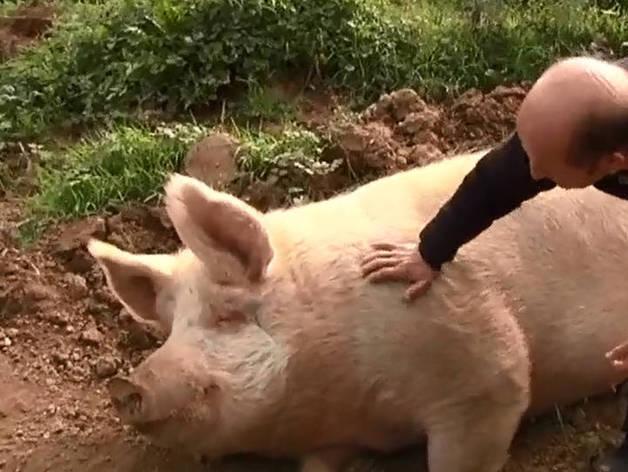 El cerdo más famoso de España