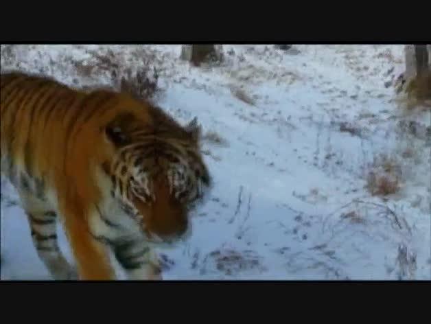 Una cabra 'le planta cara' a un tigre