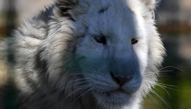 Uno de los dos tigres blancos de Sendaviva.