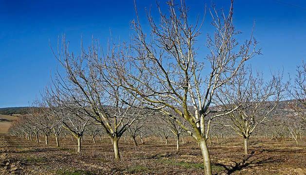 Campo de cultivo de nueces en en Riezu.