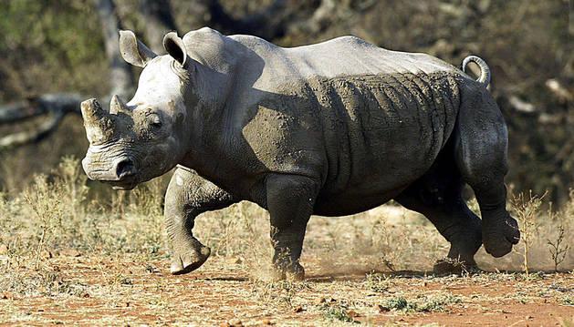 Un ejemplar de rinoceronte blanco.