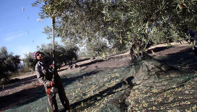 Un olivarero recoge los frutos de un árbol plantados en Barillas utilizando una máquina vibradora.
