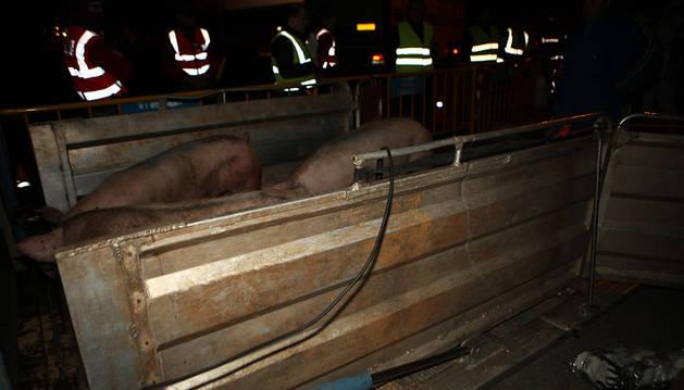 Los cerdos pasan en fila de un camión a otro.