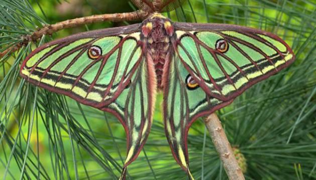 Mariposa Isabelina, una de las que optan a ser 'Mariposa del año'.