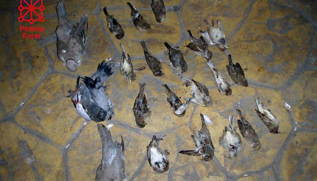 Ejemplares de palomas y gorriones muertos por disparos de perdigón.