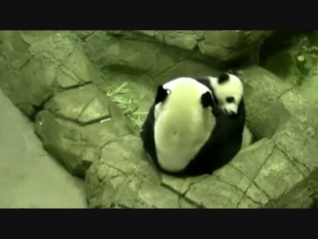 Bei Bei, nueva estrella del zoo de Washington